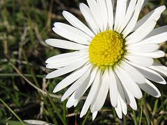 Flor a2